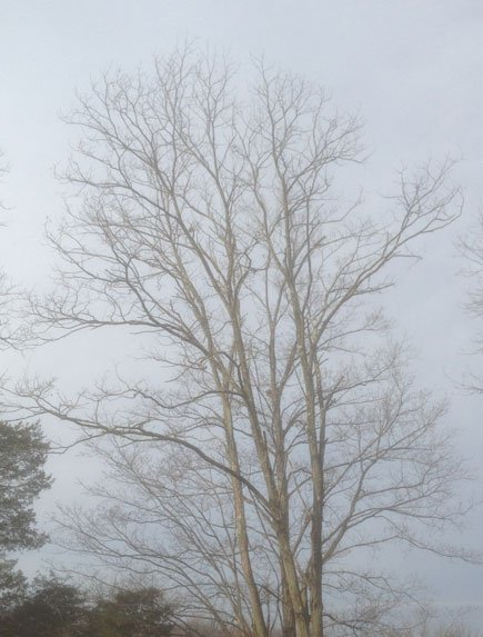 Winter Tree for Another Thing