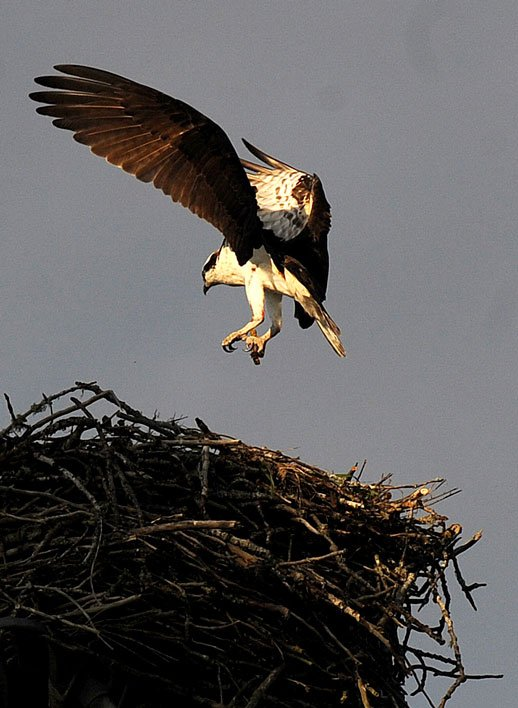 Osprey Landing In Nest