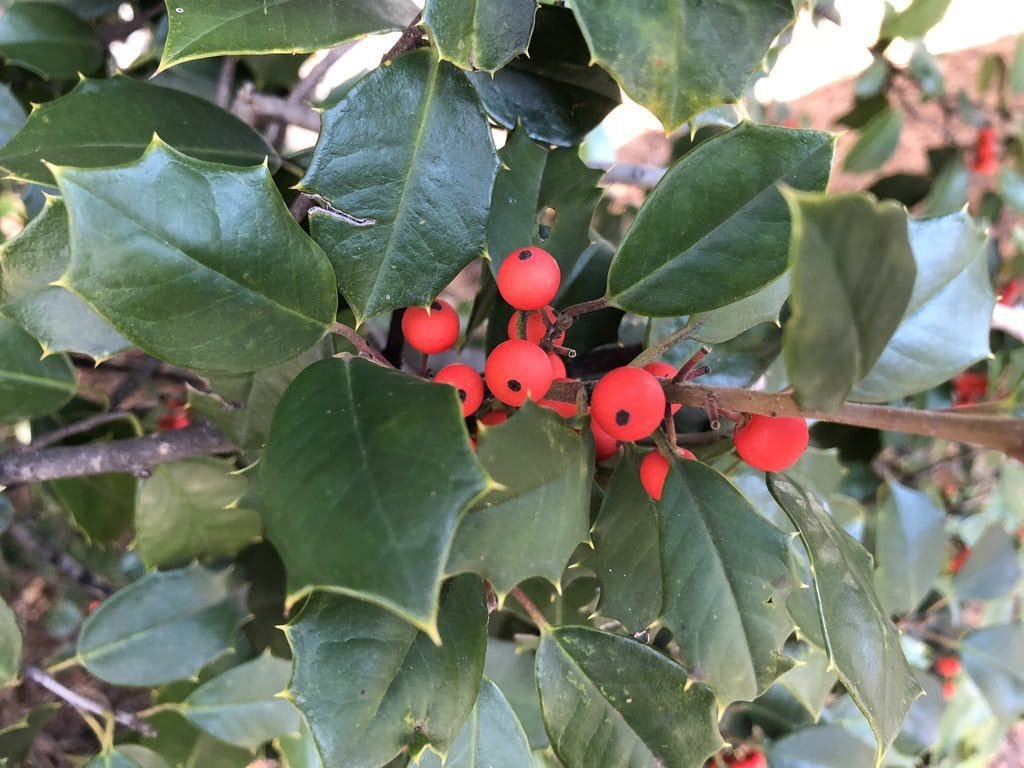 Holly (not The Cranberries)