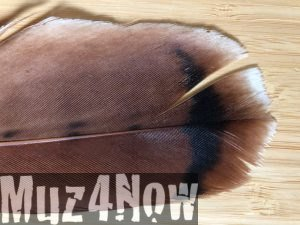 Redtail Hawk Feather Highlight