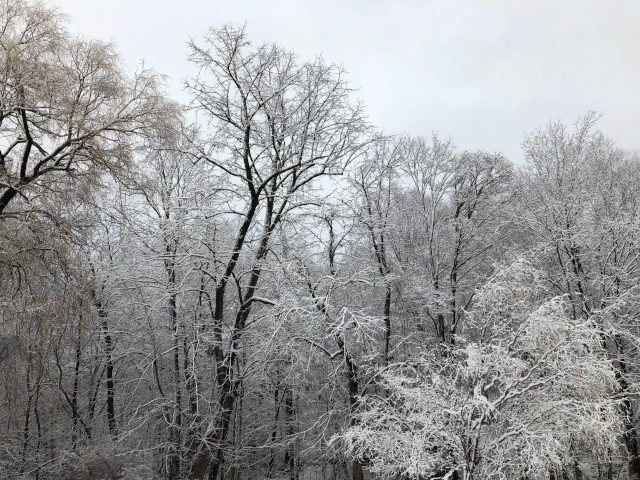 Snowy morning woods