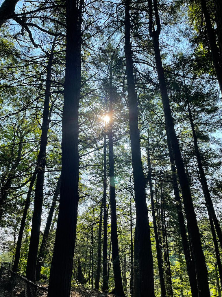 Neo-romantic moment - the sun gleams through tall trees in a forest.